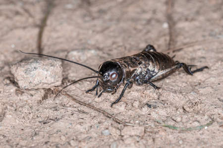 Close-up of a cricket on a field path in the Bavarian Forest, Germany Europe 免版税图像 - 157860470