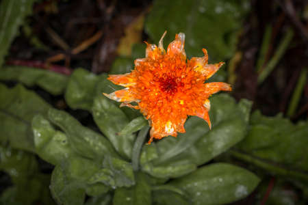 Orange flower with open blossom after a rain with water drops on a flower meadow on a typical rainy November day, Germany 免版税图像