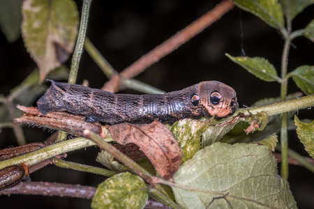 Close-up of a brown dragonfly larva on a branch in the grass, Germany 免版税图像
