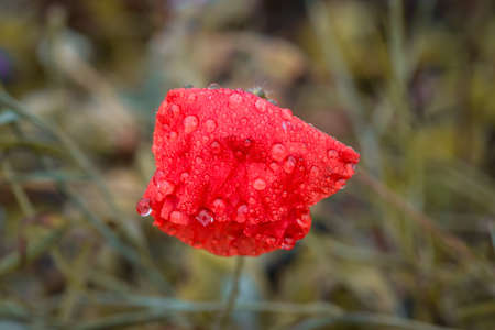 Red flowers with open blossom after a rain with water drops on a flower meadow on a typical rainy November day, Germany