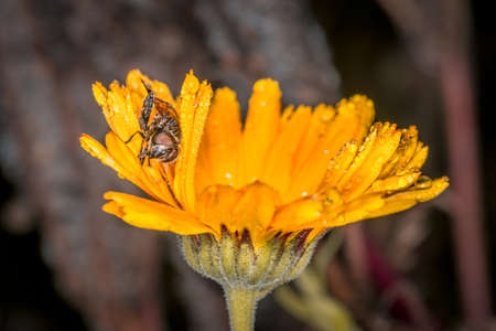 Yellow orange flower with open blossom with insect after a rain with water drops on a flower meadow on a typical November day, Germany