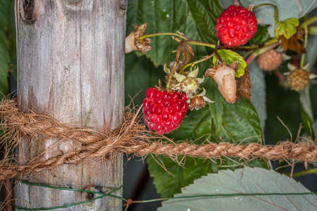 Close-up of green red ripe and picked raspberries tied to a raspberry bush with a hemp rope on a wooden stake, Germany