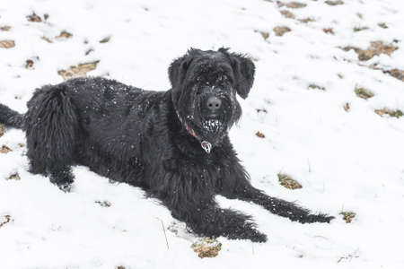 Giant schnauzer dog with black fur playing and rolling in snow in winter and fog weather, Germany