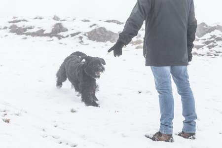 Giant schnauzer dog with black fur running and jumping past master in winter with snow in fog weather, Germany 免版税图像