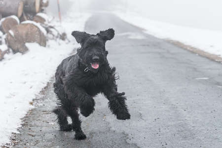 Giant schnauzer dog with black fur running and jumping towards camera in winter with snow in fog weather, Germany