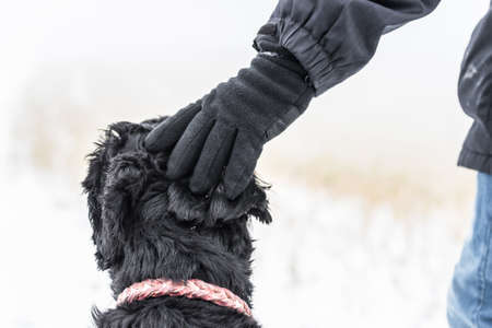 Giant schnauzer dog gets praise from master who puts hand on head and strokes and pats black fur, Germany
