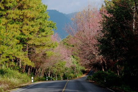 Cherry Blossoms bloom between the road in winter in northern Thailand.