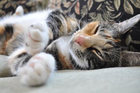 calico cat: Calico Cat Laying Down Stock Photo