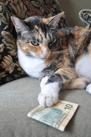 calico: Calico Cat Gambling Stock Photo