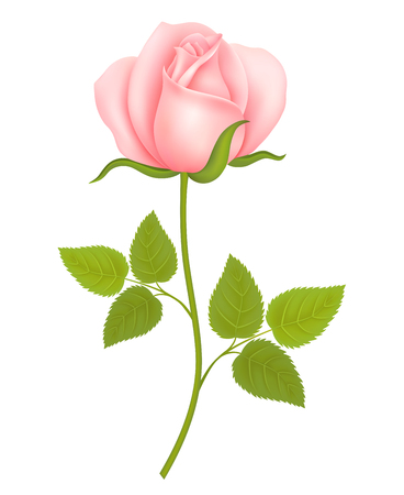 Pink Rose Flower isolated on white background. Vector illustration Çizim
