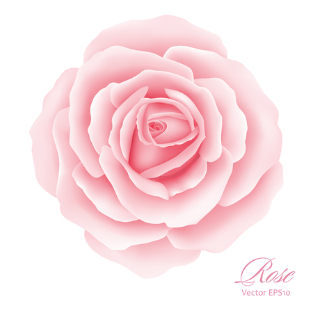 White background with a Pink Rose Flower. Ilustracja