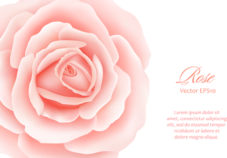 Pink Rose Flower isolated on white background. Vector illustration Ilustracja