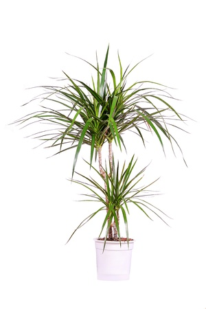 Dracena isolated on white background