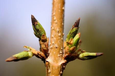 lifeless: Lifeless frozen forsythia flower buds, closeup