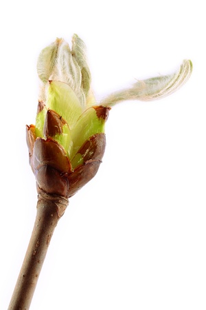 Chestnut bud closeup on white background