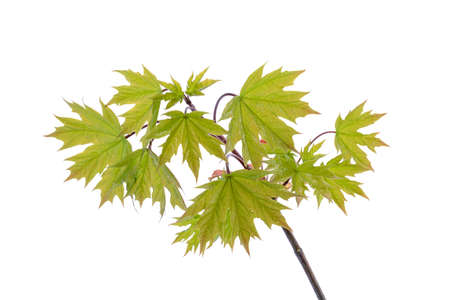 Young spring maple leaves on the branch isolated on a white background photo