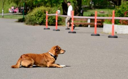 helpmate: Dog rest in the asphalt in dog show