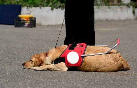 Guide dog resting on the asphalt