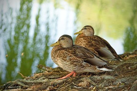 mallard duck: Mallard duck sitting near the lake