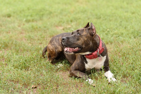 staffordshire: Staffordshire bull terrier portrait in the green Stock Photo