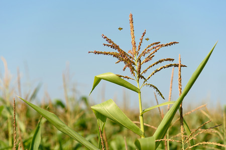 corn: Inflorescencia en la plantaci�n de ma�z con el cielo azul, detalle