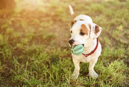 spotted dog: American staffordshire terrier dog play his ball Stock Photo