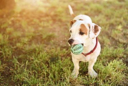 Staffordshire アメリカのテリア犬は、彼のボールをプレーします。 写真素材
