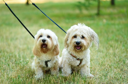 Bichon bolognese dogs in the park
