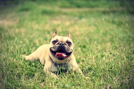 bulldog: Bulldog francés en la hierba verde