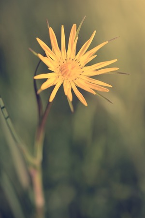 Wildflower: Vintage photo of a yellow wildflower