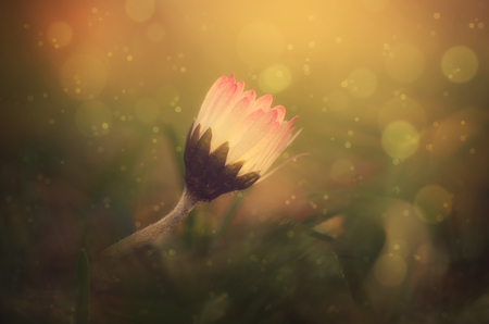 day dream: Dreamy photo of a daisy flower a spring field Stock Photo