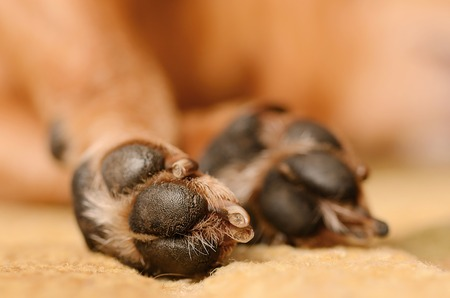 Closeup photo of dog paw, detail