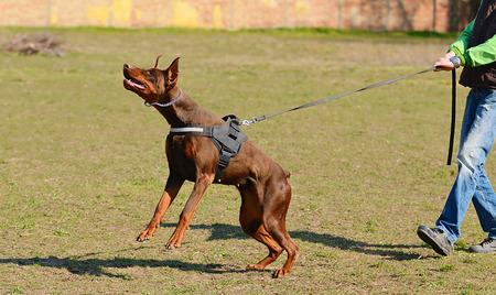 Brown Doberman Pinscher with owner in dog school