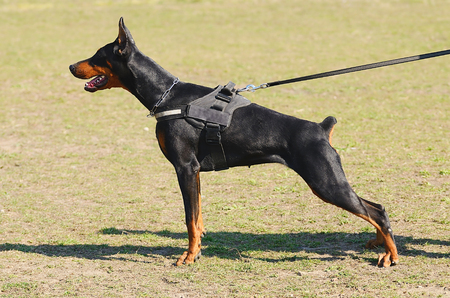 Dog School: Black Doberman Pinscher with owner in dog school Stock Photo