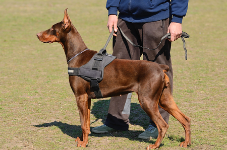Dog School: Brown Doberman Pinscher with owner in dog school