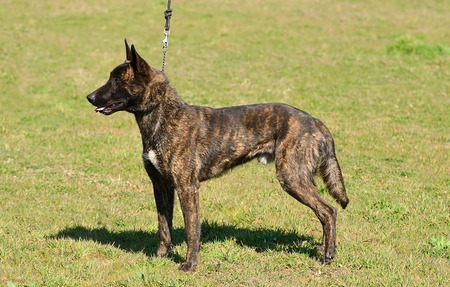 Dutch shepherd don on field