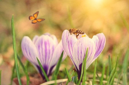 bee flower: Soft photo of crocus flower early spring