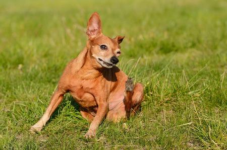 scratching: Miniature pinscher dog scratching in green meadow