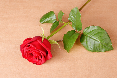 red rose: Red rose on cardboard background Stock Photo