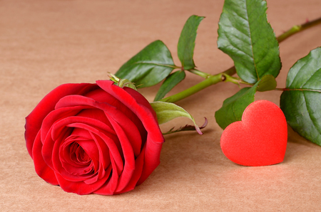 cardboard only: Red rose on cardboard background Stock Photo