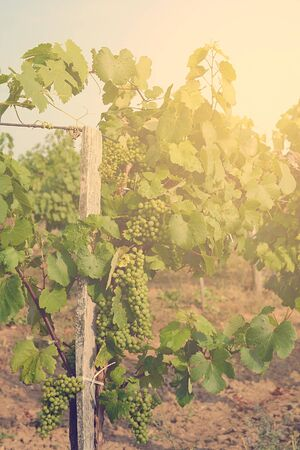 unripe: Vineyards at sunset in summer. Unripe grapes. Stock Photo