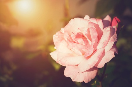 flower concept: Beautiful rose flower at sunset, soft photo
