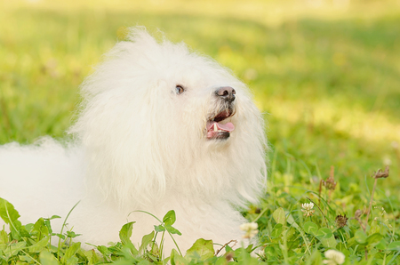 Closeup photo of a Bichon bolognese relax in the park