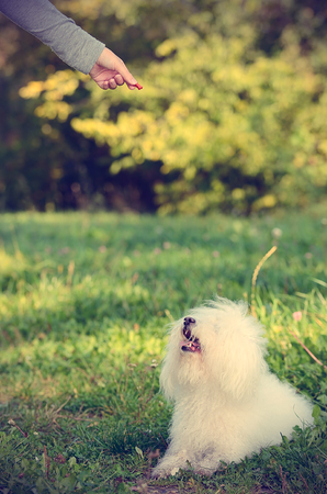 bichon bolognese: Bichon bolognese dog play with owner in park