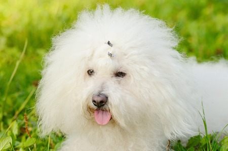 bichon: Closeup photo of a Bichon bolognese relax in the park