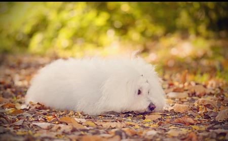 bichon bolognese: Sad Bichon bolognese dog in the park