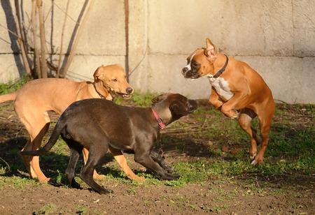 perros jugando: Dogs playing in the park Foto de archivo