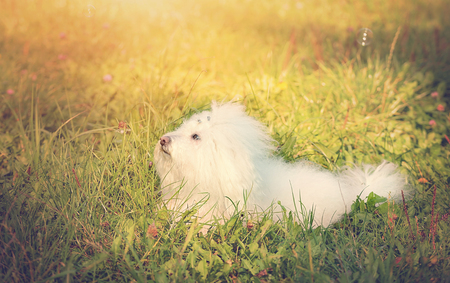 bichon bolognese: Vintage photo of a Bichon bolognese dog in the park