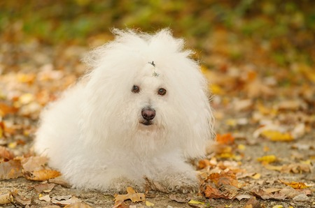 bichon bolognese: Bichon bolognese dog relax in the park