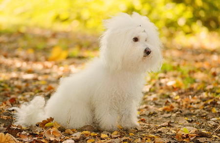 Bichon bolognese dog relax in the park